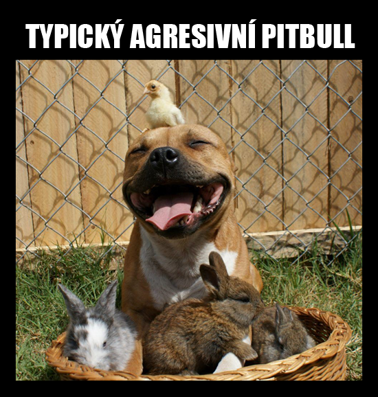Typicky agresivní Pitbull